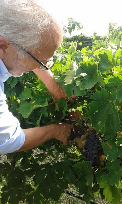giuseppe managing the vine