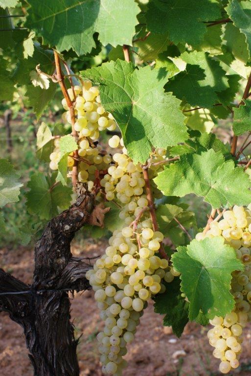 white-grapes-hanging