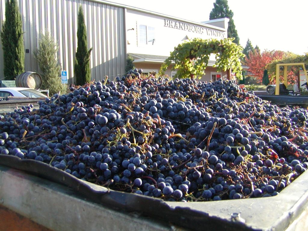 grapes just picked