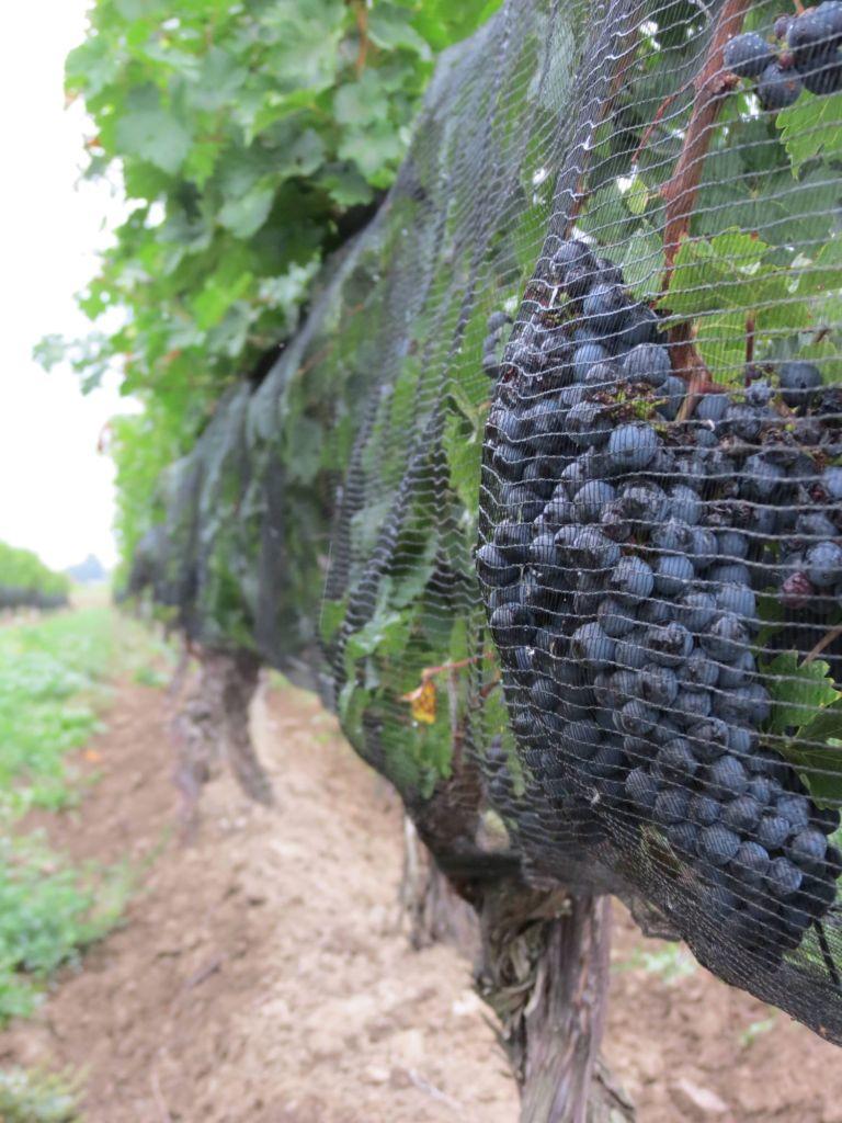 portfolio-henry-of-pelham-1mb-frozen-grapes