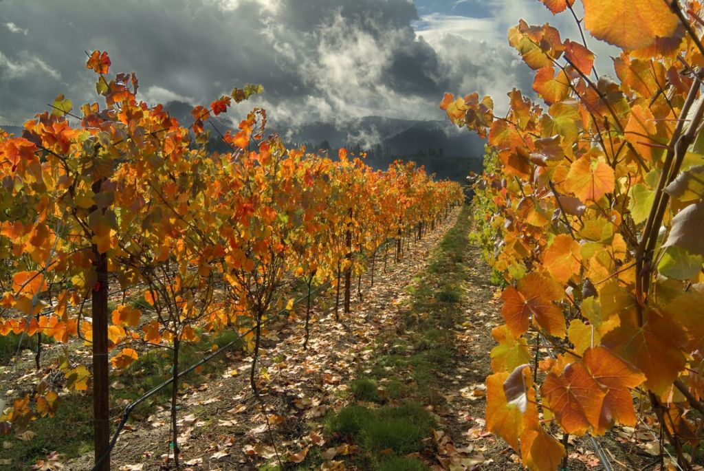 Brandborg Vineyard in Fall