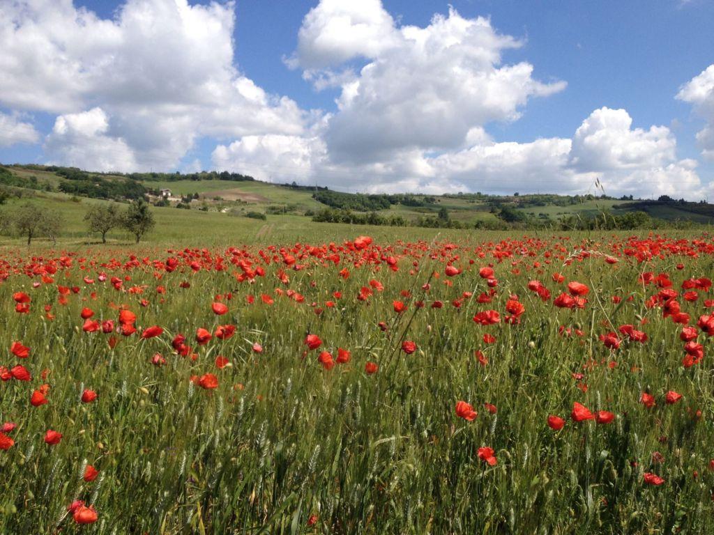campi con fiori rossi