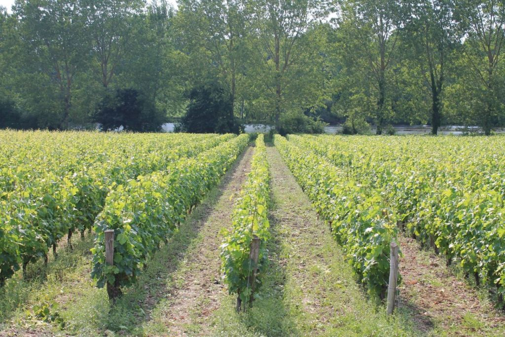 le vignoble (large)