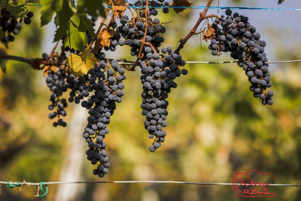 more grapes hanging