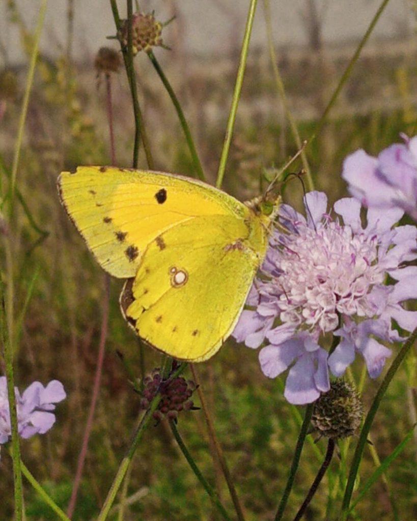 altra farfalla